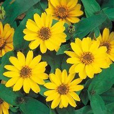 Profusion Yellow Zinnia - Annual flower