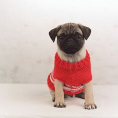 pug love -- and love theses cute little simple sweaters for Joon!!!!   SHe likes them too!!!