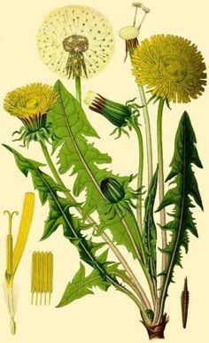 Ботаническая иллюстрация одуванчика лекарственного (Taraxacum officinale)