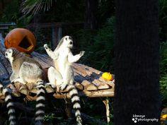 These Lemurs were so cute :) Fort Worth Zoo, Lemurs, Cute, Kawaii, Lemur