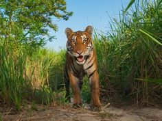 Photograph by Steve Winter, National Geographic.     Hunted to death in much of India, tigers survive in Kaziranga National Park.