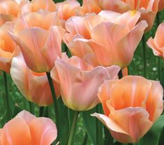 Tulip Apricot Beauty    A fragrant, Single Early variety that's great for forcing, too. The outside of the blooms is soft salmon-rose overlaid on the edges with apricot; the inside is apricot with a star of light green at the base. 'Apricot Beauty' is deservedly popular. Early.
