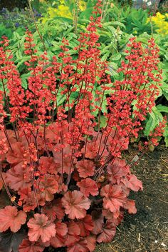 Coral Bells 'Cherry Cola' Heuchera - Forms low mounds of reddish brown foliage with spikes of bright red flowers. Height Zones --- these are still gorgeous into November! Would like to plant some more come spring. Unique Gardens, Beautiful Gardens, Beautiful Flowers, Red Plants, Shade Plants, Shade Garden, Garden Plants, Coral Bells Heuchera, Shade Flowers