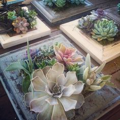 picture frame succulents rooting Propagating Succulents, Cacti And Succulents, Planting Succulents, Backyard Plants, Garden Landscaping, Succulent Frame, Succulent Ideas, Cactus Craft, Home Decor Styles