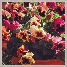 Potted Pansies #hortiman #plantlifebalance #Padgram