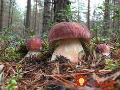 Našli v lese bílé hřiby, ale namísto toho, aby je uvařili, udělali toto… Porcini Mushrooms, Stuffed Mushrooms, Garden Soil, Gardening, Mushroom Varieties, Mushroom Cultivation, Edible Mushrooms, Mushroom Fungi, Plant Drawing