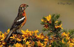 Rara - AVES DE CHILE South America, Butterflies, Birds, Animals, Little Birds, World, Amphibians, Hens, Eggs