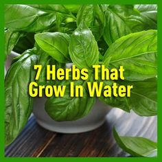 15 Tips And Tricks For Growing Herbs You Need To Know is part of Planting herbs Herbs are essential part of every garden Who doesn& love adding some pesto sauce with fresh basil to their pasta Or - Growing Ginger Indoors, Growing Herbs, Organic Gardening, Gardening Tips, Indoor Gardening, Growing Spinach, Plant Diseases, Herbs For Health, Herbs Indoors