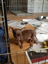 Ginny is an adoptable Chihuahua Dog in O'Fallon, MO. Ginny is a chocolate-colored Chihuahua mix puppy currently around 12 weeks old. All pets are spayed/neutered, microchipped, up to date on vaccinati...