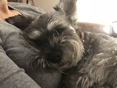 Awww that's so sweet 😍❤️ Mini Schnauzer Puppies, Miniature Schnauzer, Cute Dogs Breeds, Small Dog Breeds, Puppies And Kitties, Cute Puppies, Shih Tzu Hair Styles, Dog Days Are Over, Crazy Dog Lady