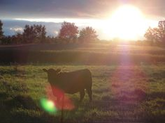 "https://flic.kr/p/zBGwEi | Photo Series: Life on the farm is...: ""Sun bathing heifer"" | Taken in Oct. 2015 just south of Drumbo, Ontario."