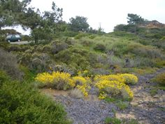 Scott Jones - Pt. Loma, with Torrey Pines, Adenostoma fasciculata, Artemisia californica, Lemonade Berry, and Rhamnus crocea(left front corner) being the most prominent other plants.