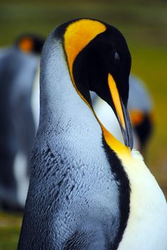 King Penguin in the Falkland Islands print available on Etsy.