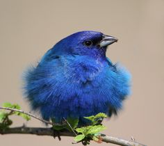 plenty of colour indigo bunting . . .