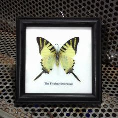 Real Butterfly taxidermy stuff in wooden black frame The Fivebar... (110 UAH) ❤ liked on Polyvore featuring home and home decor