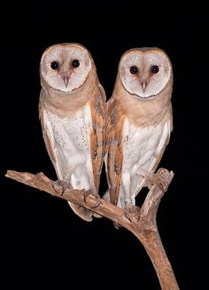 Twins. Barn Owl. (young) by yaki zander on 500px