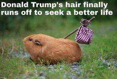 Donald Trump's Hair Finally Runs Off To Seek A Better Life funny lol humor funny pictures funny photos funny images hilarious pictures donald trump Funny Posts, Funny Shit, The Funny, Funny Memes, Funny Stuff, Relatable Posts, Daily Funny, Funny Quotes, Funny Animal Pictures