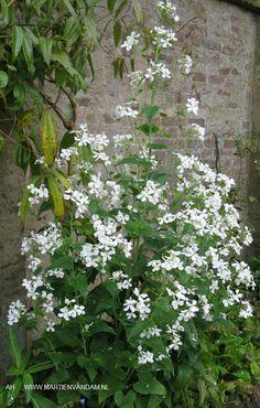 Lunaria annua = judaspenning, een 2-jarige plant met witte ('Alba') of violetpaarse bloemen (goede snijbloem) in mei-juni, kan tot 100cm hoog worden. Heeft de zaden in een huls met zilverachtig tussenschot zitten die na opengaan aan de plant blijft –mooi in droogboeketten-. Ze zaaien zich spontaan uit, houden van een zonnige of lichte schaduw plek.