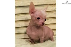 Babies Mexican Hairless Chihuahuas