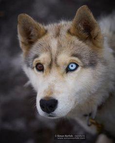 Viaggi: #Photograph by #@simonnorfolkstudio A bi-eyed husky ... (natgeo) (link: http://ift.tt/2k0Rym0 )
