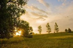 Cottonwood trees at the Ingalls Homestead, De Smet, South Dakota. Photo by Chad Coppess