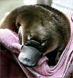 I just learned that a baby platypus is called a puggle! That is the most adorable baby name ever. Too bad the baby animal itself doesn't look too cute. It looks like it's wearing a fake beak. Baby Platypus, Duck Billed Platypus, Ugly Animals, Rare Animals, Unusual Animals, Common Birds, Australian Animals, Weird Creatures, Tier Fotos