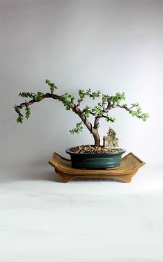 Crassula spec geldbaum bonsai zimmerpflanzen for Bonsai hydrokultur