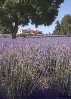 Green Acres Lavender Farm. Another lavender farm, this one's in SLO. Why must I come up with these ideas when it's off-season! (~3-4 hours away)