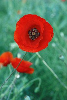 Poppy by Pavel Azarov / Poppy, Beautiful Flowers, Poppies