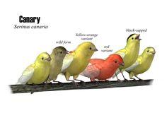 I <3 canaries