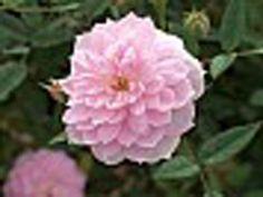 'Sweet Fairy' Microminiature Rose