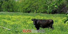 Organik hayvancılığa devlet desteği