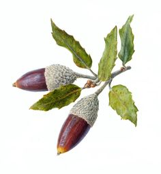 Acorn Folio illustration agency, London, UK | Carolyn Jenkins - Watercolour ∙ Painterly ∙ Botanical ∙ Horticultural ∙ Photorealism - Illustrator