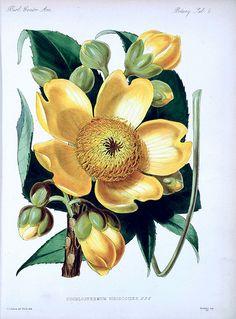 Buttercup tree. Cochlospermum vitifolium [as Cochlospermum hibiscoides] Small tree native to tropical America and Caribbean islands. Biologia Centrali-Americani, Botany, vol. 5 (1879-1888)