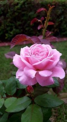 The miniature rose plant itself can grow to a height of four to five feet thus you can grow miniature roses in your garden. Beautiful Rose Flowers, Colorful Flowers, Beautiful Flowers, Purple Roses, Pink Flowers, Most Popular Flowers, Asian Garden, Rosa Rose, Rose Pictures
