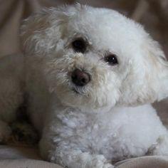 Georgette - Bichon Frise   Rover.com: Dog Boarding Marketplace