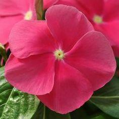 Mediterranean XP Rose Vinca | A