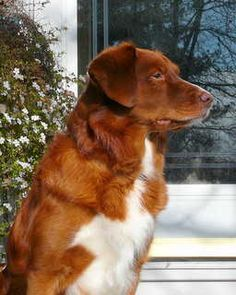 Harley ~ Nova Scotia Duck Tolling Retriever ~ Classic Look ~ Caliber Kennel