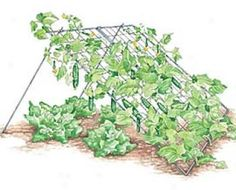 a CUCUMBER trellis avoids soil-borne diseases & the design makes the most of limited garden space. Cucumber vines create shade for lettuce below. Also ideal for Melons and vining squash.