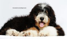 A bernedoodle from Swissridge kennels.