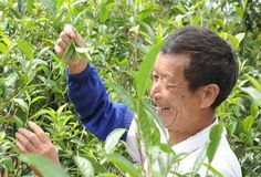 Tea Master Yunnan China