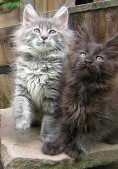 Delightful Maine Coon kittens…….