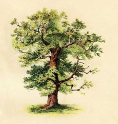 Antique Clip Art - Beautiful Tree - The Graphics Fairy
