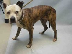 SUPER URGENT 06/02/16 Brooklyn Center PANDY – A1076016 FEMALE, BR BRINDLE / WHITE, AM PIT BULL TER MIX, 12 yrs OWNER SUR – EVALUATE, NO HOLD Reason NEW BABY Intake condition EXAM REQ Intake Date 06/02/2016, From NY 11233, DueOut Date 06/05/2016