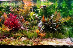 Photos by: Don Boyer http://www.aquaticplantcentral.com/forumapc/journals/85649-dons-square-200-gallon-part-thrice.html |  gastromyzontidae | tumblr.