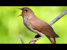 Nightingale bird is singing in the spring. Nature sound and relaxing. Beautiful Songs, Beautiful Birds, Nightingale Bird, Best Old Songs, Nature Story, Tiny Bird, Nature Sounds, Rare Birds, Animal Species