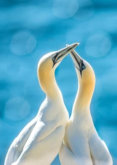 Gannet Bill Tapping by San Bamunuge on 500px