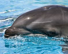 The Wolphin: An extremely rare crossbreed between the Bottlenose Dolpin and False Killer Whale