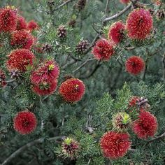 Kunzea baxteri.  This hardy West Australian shrub grows well in most areas providing the soil is well drained. Erect stem with a lightly textured crown, narrow leaves 2 cm long; dense bottlebrush like flowers appearing in winter and spring. Good bird attracting plant for the winter garden.