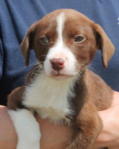 Meet Marco 22113, a Petfinder adoptable Retriever Dog | Prattville, AL | Marco is an 8-week-old male Retriever mix. He is chocolate brown with white markings. Marco is a...